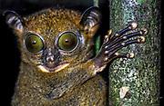 Western Tarsier, Cephalopachus bancanus, from Danum Valley, Sabah, Borneo.