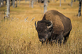 Bison Hunting Stock Photos