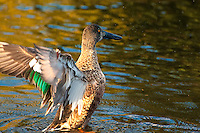 An immature male northern shoveler spreads his wings on a small pond in Medina, WA on a chilly spring late afternoon. It's darkening head will soon be a brilliant metallic green, much like the common mallard, but its long bill will remain black.
