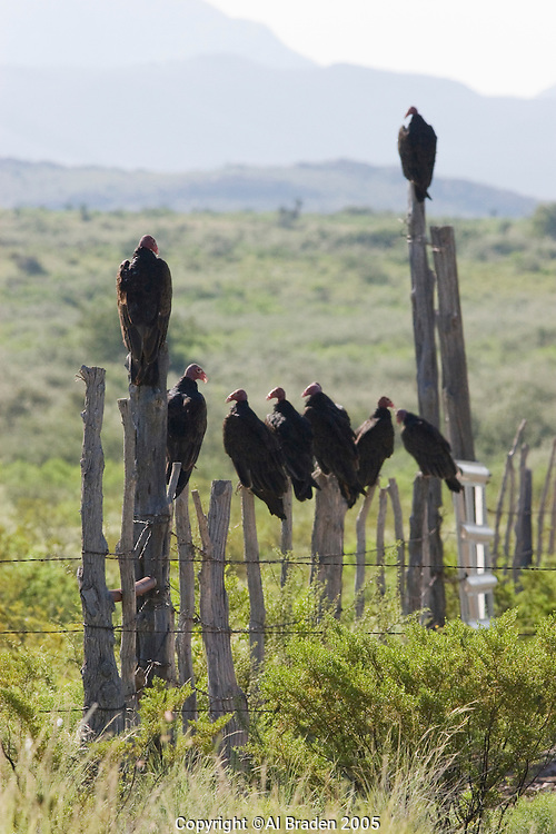 Vultures, Big Bend National Park, Texas