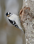 Downy Woodpecker, Searsmont, Maine