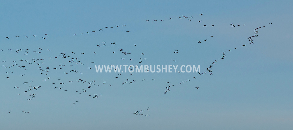Goshen, New York - A flock of Canada Geese fly through the sky on Jan. 8, 2015.