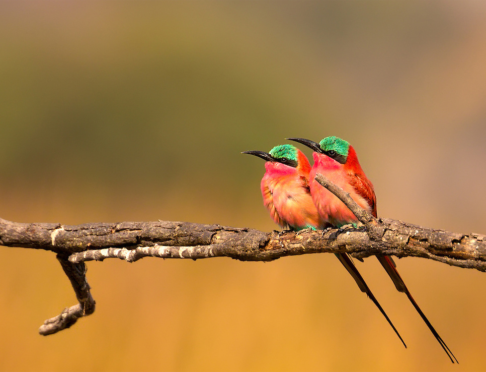 A pair of Souther Carmine Bee-Eaters bask in the late afternoon sun of the Okavango Delta in Botswana