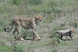 A female Cheetah is seen with her cub in Ndutu area of Southern Serengeti National Park in Arusha Region, Tanzania, on August 25, 2019. Photo by Emy/ABACAPRESS.COM