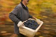 Pinot Noir harvest at Goldeneye, Anderson Valley, Mendocino County