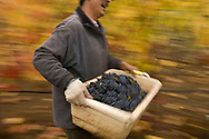 Pinot Noir harvest at Goldeneye, Anderson Valley, Mendocino County