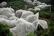 TAIZHOU, CHINA - JUNE 04: (CHINA OUT) <br /> <br /> Mosquito Net For Trees<br /> <br /> A stand of strawberry trees that wear mosquito net for the sake of preventing insects and improving economic benefit is seen at Dalangtan Red Bayberry Base of Huangyan District on June 4, 2014 in Taizhou, Zhejiang province of China. By wearing mosquito net, the strawberry trees do not need agricultural chemicals, which means more safer fruits, and the selling price is much higher than the traditional ones. <br /> ©Exclusivepix