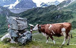 THEMENBILD - Kühe auf einer Hochgebirgs Weide, aufgenommen am 15. Juni 2017, Kaprun, Österreich // Cows on a high mountain pasture on 2017/06/15, Kaprun, Austria. EXPA Pictures © 2017, PhotoCredit: EXPA/ JFK