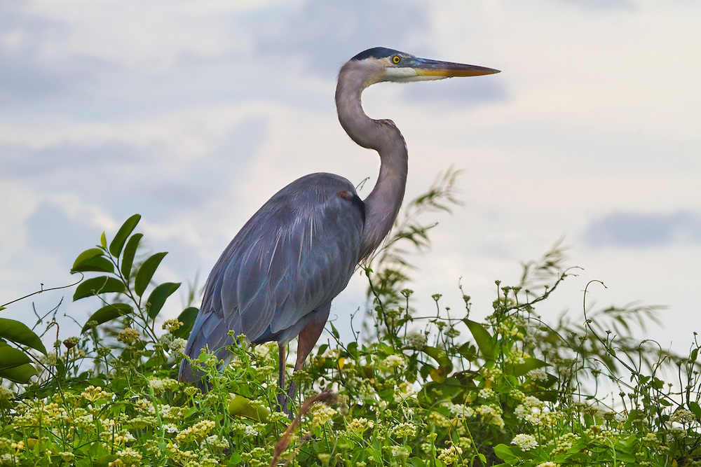 Great Blue Heron, Everglades National Park.<br />