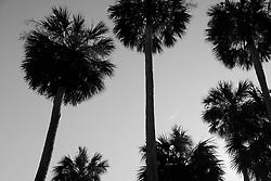 Palm Tree Sky, Washington Oaks Gardens, Florida