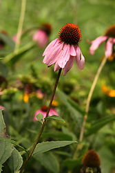 July 2007: Purple cone flower, Chattanooga Nature Center.  Attractions near Chattanooga Tennessee. Point Park, National Park Service - Lookout Mountain, TN.