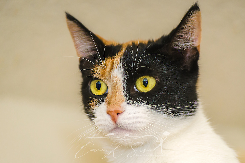 Pumpkin, a one-year-old calico kitten, is pictured, October 30, 2015, in Coden, Alabama. (Photo by Carmen K. Sisson/Cloudybright)