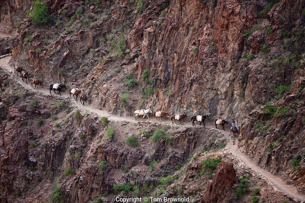 Pack train heading up on the Bright Angel Trail through the schist