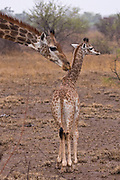 Mother giraffe cleaning a baby giraffe with its tongue