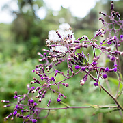 Purple mountain flowers in the forest zone of Mt. Kilimanjaro.