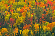 Acadian forest in autumn foliage. Near Edmunston. Madawaska County,<br />