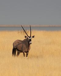 A regal gemsbok stands near the salt pan at Etosha, Namibia