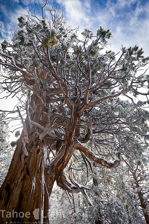 Lake Tahoe Snow covered Cedar Tree.