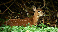 Resting Fawn. Backyard Nature in my Backyard -- Summer in New Jersey. Image taken with a Nikon D700 and 28-300 mm lens (ISO 1600, 300 mm, f/5.6, 1/30 sec). Raw image processed with Capture One Pro 6, Nik Define 2, and Photoshop CS5.