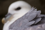 I love Fulmars, they were the first bird I ever photographed. However, finding new ways to photograph something familiar is always difficult. A gentle breeze revealed the detail in this birds blue grey plumage.