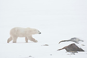 Polar bear Ursus maritimus on frozen tundra<br />