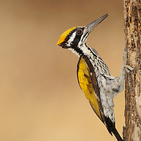 White-naped Woodpecker, Ranthambhore, India