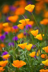 Eschscholzia californica 'Orange King' - California poppy - with Verbena rigida