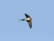 Red-rumped Swallow - Cecropis daurica. L 15-18cm. Similar to a Swallow but with a pale rump. Adults have blue-black upperparts with a buffish nape and cheeks, and streaked pale underparts.