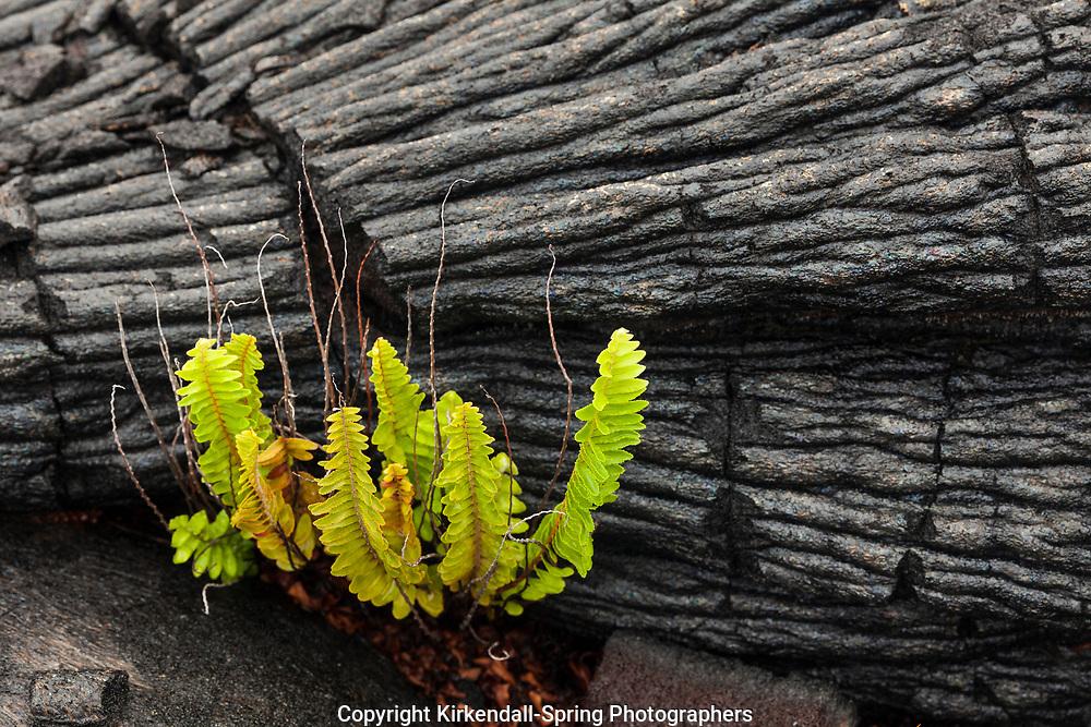 HI00265-00...HAWAI'I - Ama'u (Sadleria cyatheoides) is the first plant to return to a lava field. Hawai'i Volcanoes National Park.