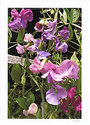 Greeting card with photo of lavender and purple sweet peas individually printed on acid free card stock in vivid colors. Blank inside, with envelope.