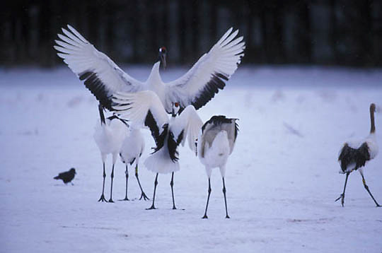 Japanese Crane or Red- crowned Crane, (Grus japonensis) Breeding ritual. Hokkaido, Japan