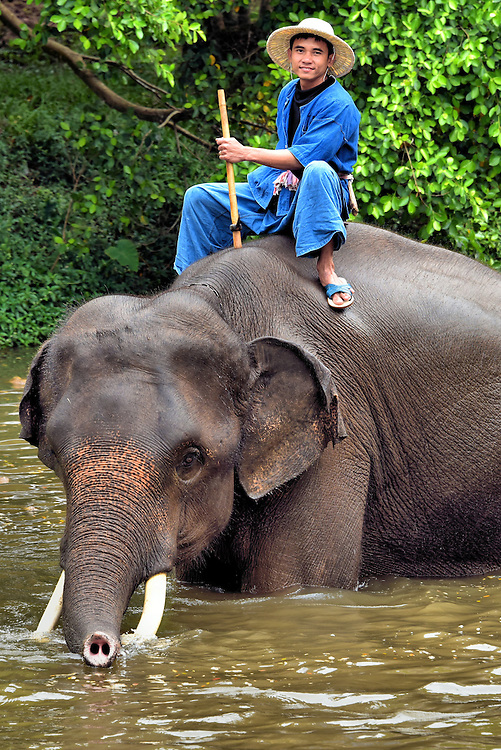 Mahout Riding Elephant in Water in Hang Chat, Thailand<br /> This man on a bull Asian elephant is called a mahout. These caretakers often enter their family's profession as a youngster and are assigned a specific animal for life.  The stick he is holding is called an ankuśa.  On the end is a sharp metal hook that is used to goad the elephant in the ear or head to correct or change behavior.