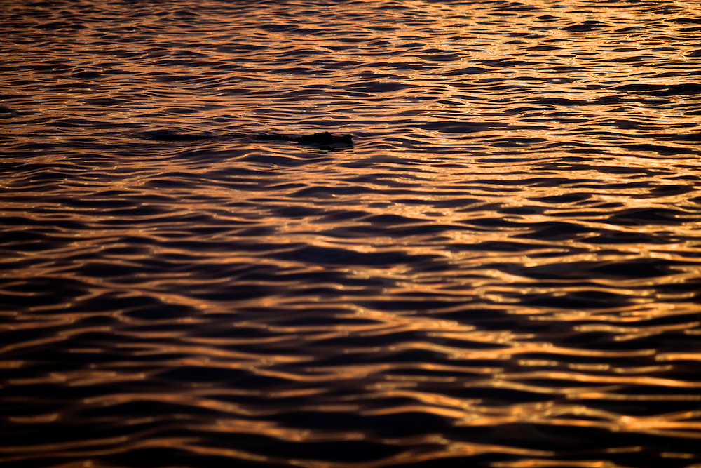 An alligator, floats along the surface of Lake Trafford in Immokalee on the first day of alligator season on August 15. Greg Kahn/Staff