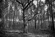Oak Tree in forest of pines near Wild Rose, Wisconsin Saturday, April 8, 2017.