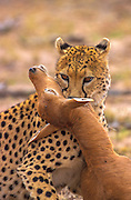 Cheetah throttling captured topi calf
