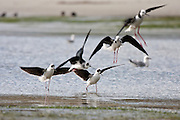 Pied Stilt, Otago Peninsula, New Zealand
