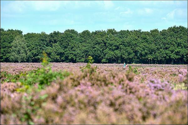 Nederland, Ede, 11-9-2015Natuurgebied De Ginkelse heide.Ook bekend om de historische luchtlandingen tijdens Market Garden. De Ginkelse hei is een natuurgebied bij Ede in de provincie Gelderland. Zij ligt aan de rand van de Veluwe, de veluwezoom.  er groeit struikheide die in augustus en september prachtig bloeit.Foto: Flip Franssen/HH