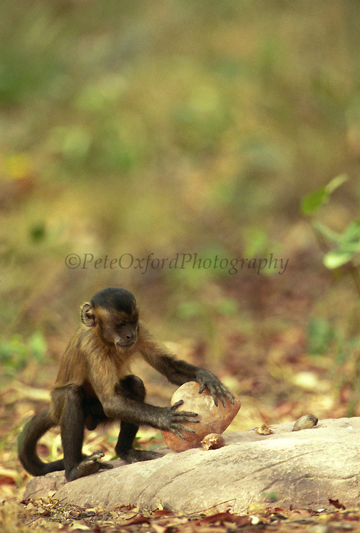 Brown Capuchin Monkey Tool Using<br />Cebus apella<br />Piaui State,  BRAZIL.  South America<br />'Placing Palm Nut for cracking with Rock'