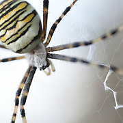 Wasp spider in web
