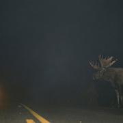 Caribou, Deer, Elk, Moose