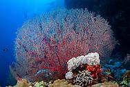 Gorgonian-Gorgone (Gorgonacea) of Red Sea, Egypt.