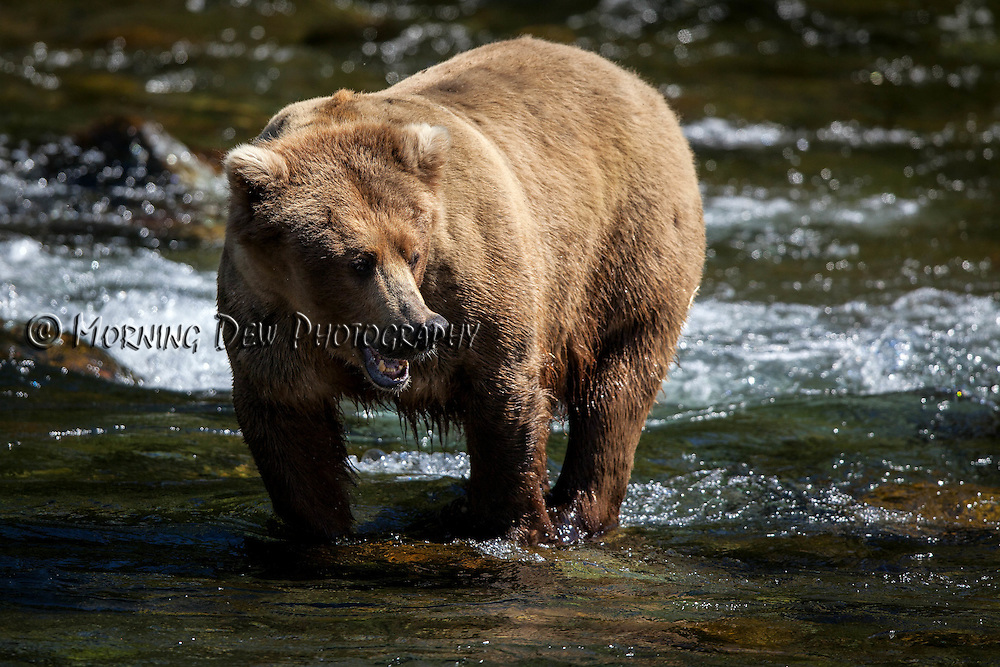 A brown bear searches for salmon in Brooks River.