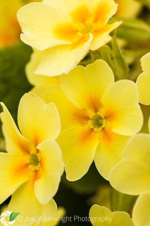A primrose, or Primula vulgaris, photographed in April