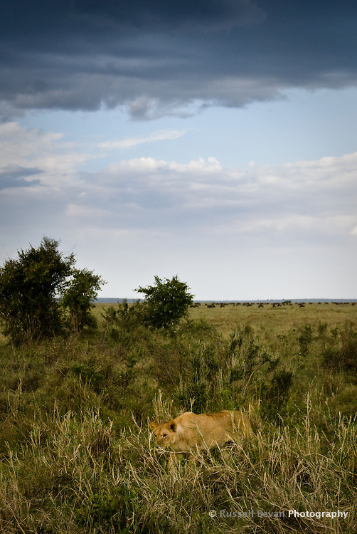 A lone lioness prowls under a stormy sky in the Masai Mara National Park, Kenya