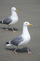 Two Herring Gulls strut across a sandy beach.