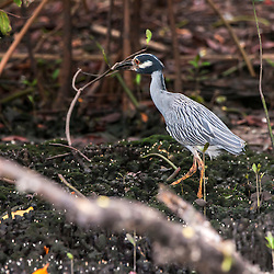 Savacu-de-coroa (Nyctanassa violacea) no manguezal de Vitória, Espírito Santo, Brasil.<br /> ENGLISH: Yellow-crowned Night-Heron in the mangroves of Vitória, Espírito Santo, Brazil.