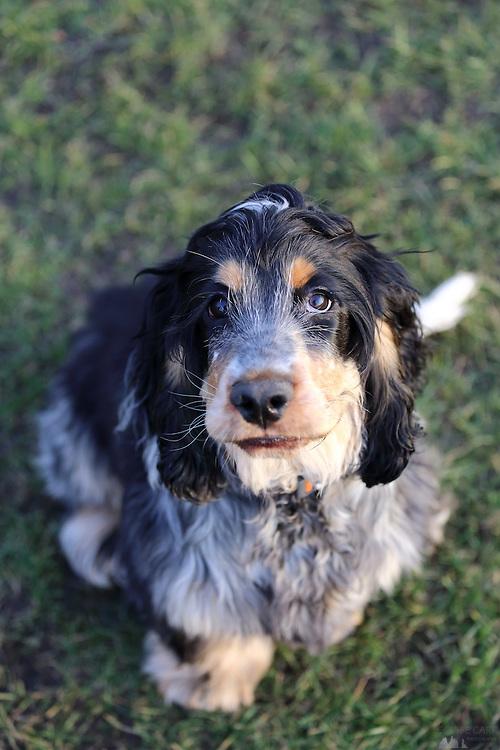 This is Archie, a 5-month-old blue roan and tan cocker spaniel waiting for his owner to throw a ball for him