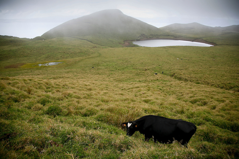 A cow in a pasture on the high plateau in Pico island, in the Azores archipelago