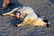 GOBI DESERT, MONGOLIA..08/29/2001.Tzochorinam, gers belonging to the family of wealthy camel herder and local hero Chimiddorj (r.). Sheep being slaughtered in honour of guests in traditional way: the sheep's belly is slit open, then a hand reaches into the cavity and blocks the blood flow by pinching the aorta..(Photo by Heimo Aga).
