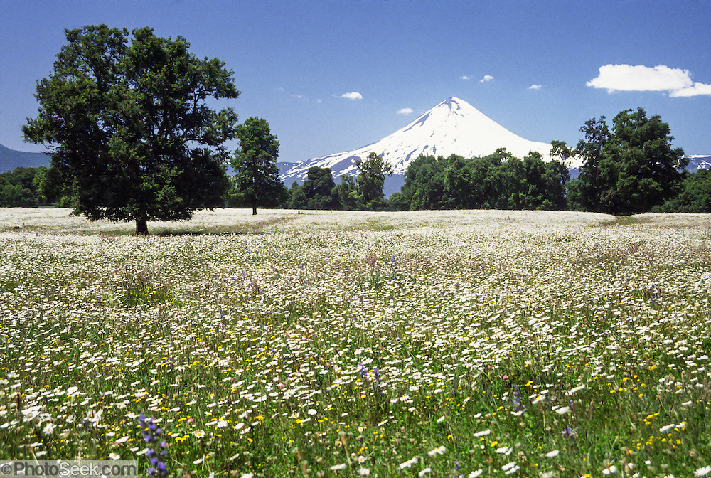 "In early January in the Andes mountain range, the snows of Llaima volcano rise above a field of white flowers near Temuco, in the Araucanía Region, Chile, South America. Volcan Llaima (3125 meters or 10,253 feet elevation) is one of the largest and most active volcanoes in Chile. The ski center Las Araucarias lies on the volcano's western slopes. What international tourist literature calls the ""Chilean Lake District"" usually refers to the Andean foothills between Temuco and Puerto Montt including three Regions (XIV Los Ríos, IX La Araucanía, and X Los Lagos) in what Chile calls the Zona Sur (Southern Zone)."
